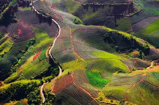 普洱成片的茶山,像是大地指纹. - 云南频道