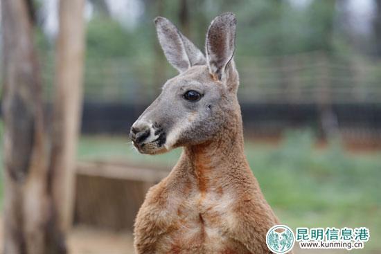 云南野生动物园长颈鹿家族添新丁 赤大袋鼠夫妇来昆助兴