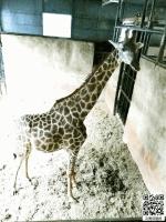 装绝食、装打架、装睡觉 被禁足长颈鹿很会加戏 - 云南信息港
