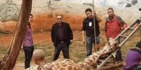 昆明动物园长颈鹿意外头卡树杈中 经抢救无效死亡 - 云南信息港