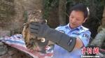 图为获救的国家二级保护动物褐渔鸮。 文山州森林公安局供图 摄 - 云南频道