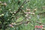 """图为绥江县种植的""""半边红""""李子 陈静 摄 - 云南频道"""